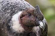 Andean Condor Close Up Side Profile