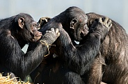 Trio of chimpanzees