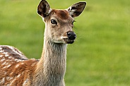 Fallow deer close up