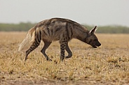 Indian Striped Hyena