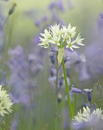 Wild Garlic (Ransoms) in Bluebells