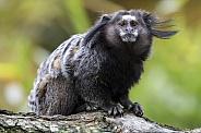 Black-tufted marmoset (Callithrix penicillata)