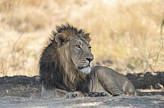 Asiatic Lion Male from Gir Sanctuary and National Park, Sasan, Gujarat, India