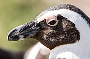 Penguin close-up in South Africa