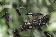 Red-breasted Nuthatch in Alaska