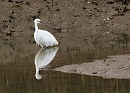 Little Egret with Reflection