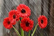 Gerbera rains