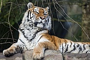 Amur Tiger Laying Down