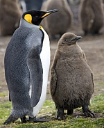 King Penguin and chick (Aptenodytes patagonicus)