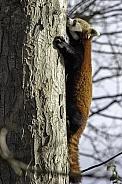 Red Panda climbing tree