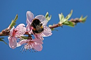 Bumblebee and Peach Blossom