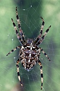 Spiders (order Araneae) - air-breathing arthropods