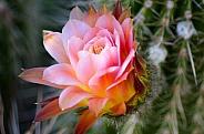 Torch Cactus Flower
