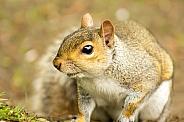 Grey Squirrel - Inquisitive