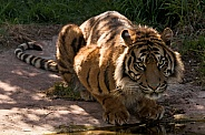 Sumatran Tiger Looked At Camera Full Body