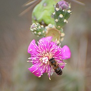 Cholla Cactus Flower and Bee