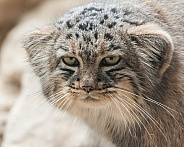 Pallas Cat head profile