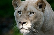 Afr White Lioness