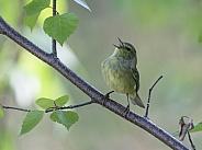 Orange-crowned Warbler Singing in Alaska