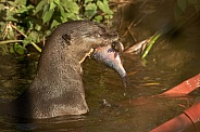 Giant Otter In Water With Fish