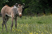 Grevy's Zebra Foal Full Body Shot