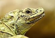 Sailfin Lizard
