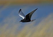 White winged black Tern