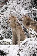 Hudson Bay Wolves (Canis lupus hudsonicus)