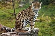 Female Jaguar Sitting Up Alert.
