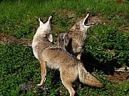 2 Coyotes howling