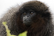 Red Titi Monkey Close Up Face Shot
