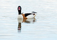 Male Shelduck