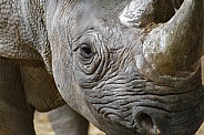 Close up of Black rhino