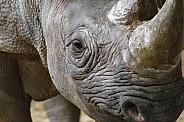 Close up of Black rhino