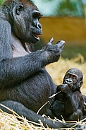 Lowland Gorilla and Baby