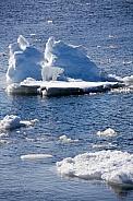 Polar Bear - Greenland - High Arctic
