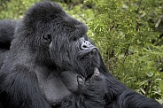 Wild Mountain Gorilla