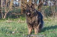 Old German Shepherd