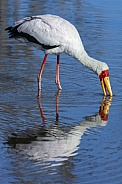 Yellowbilled Stork (Mycteria ibis)