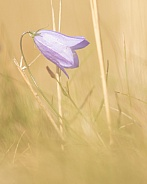 Harebell in Summer Grasses