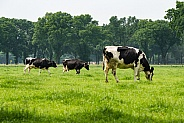 Dutch Holstein cows
