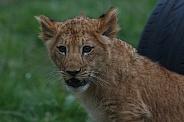 Lion Cub Head Shot