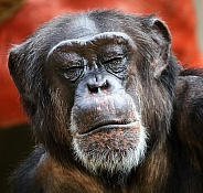 Chimpanzee With Eyes Closed