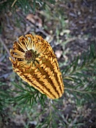 Honey Coloured Banksia Flower