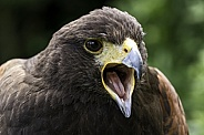 Harris Hawk Close Up Beak Open