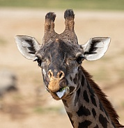Head shot of a giraffe with his tongue out