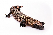 Gila Monster on White Background