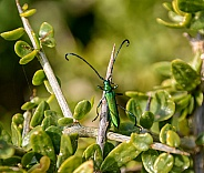 Common Metallic Longhorn