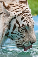 White Tiger Drinking