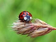Lady bug (Coccinellidae)